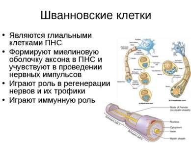 Шванновские клетки Являются глиальными клетками ПНС Формируют миелиновую обол...