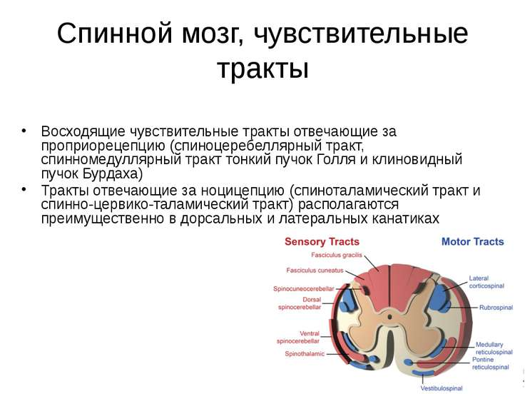 Спинной мозг, чувствительные тракты Восходящие чувствительные тракты отвечающ...