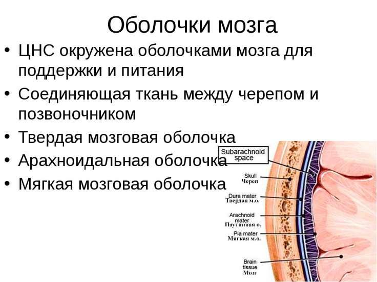 Оболочки мозга ЦНС окружена оболочками мозга для поддержки и питания Соединяю...