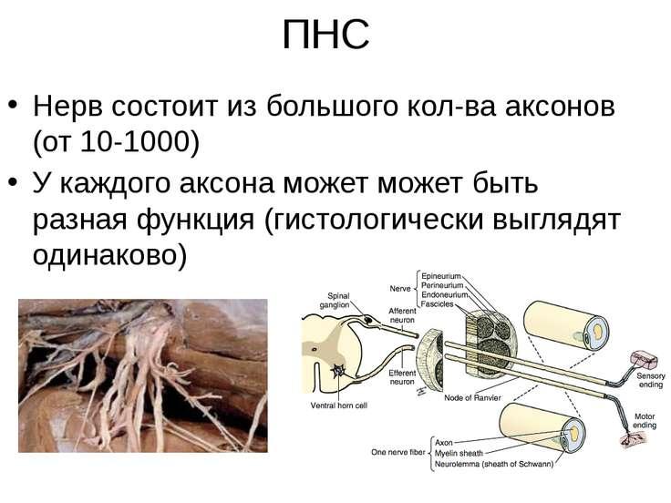 ПНС Нерв состоит из большого кол-ва аксонов (от 10-1000) У каждого аксона мож...