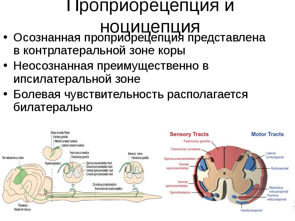Проприорецепция и ноцицепция Осознанная проприорецепция представлена в контрл...