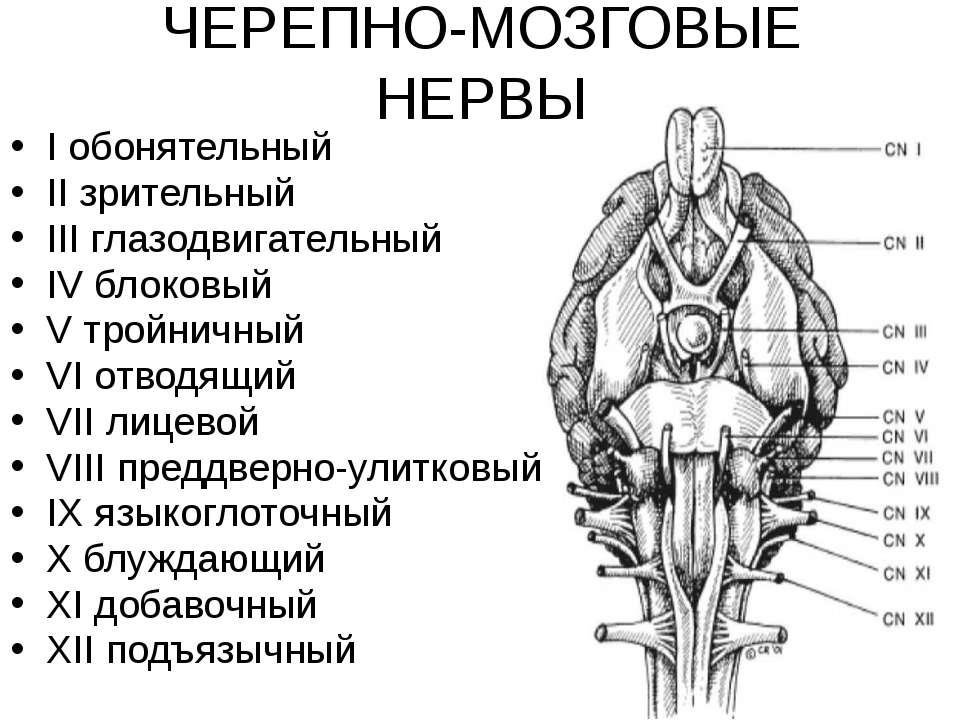 ЧЕРЕПНО-МОЗГОВЫЕ НЕРВЫ I обонятельный II зрительный III глазодвигательный IV ...