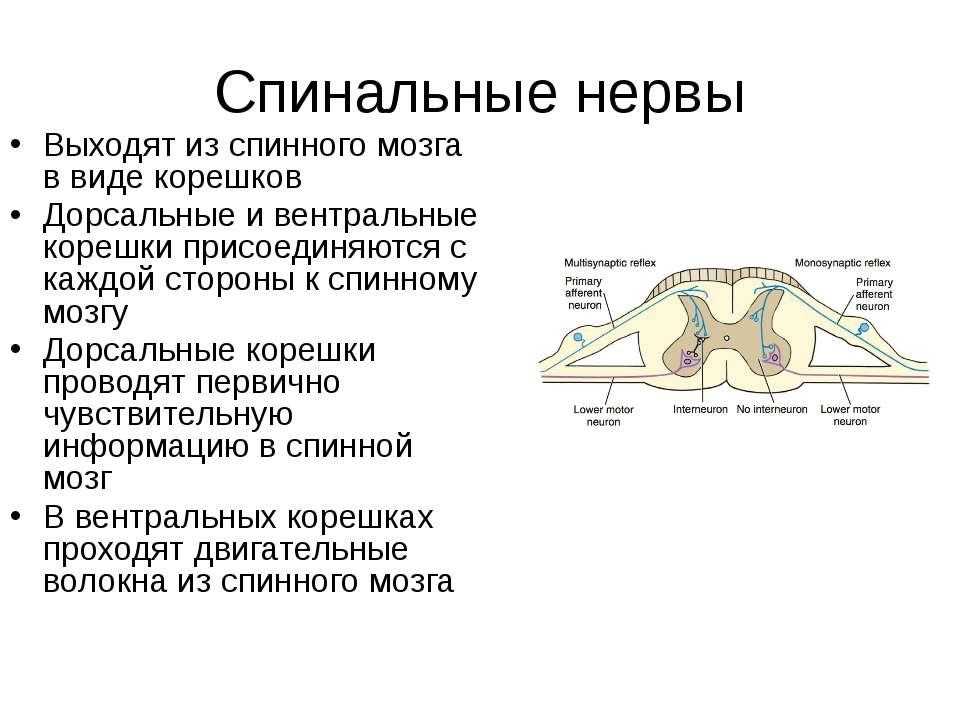 Спинальные нервы Выходят из спинного мозга в виде корешков Дорсальные и вентр...