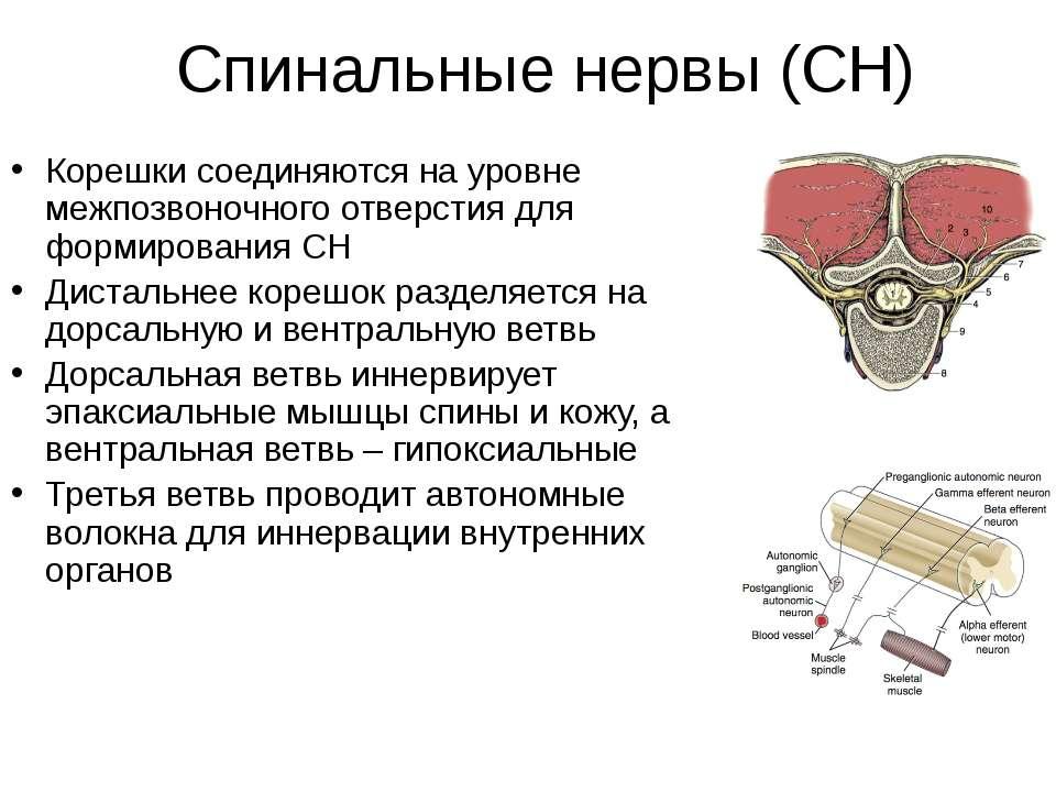 Спинальные нервы (СН) Корешки соединяются на уровне межпозвоночного отверстия...