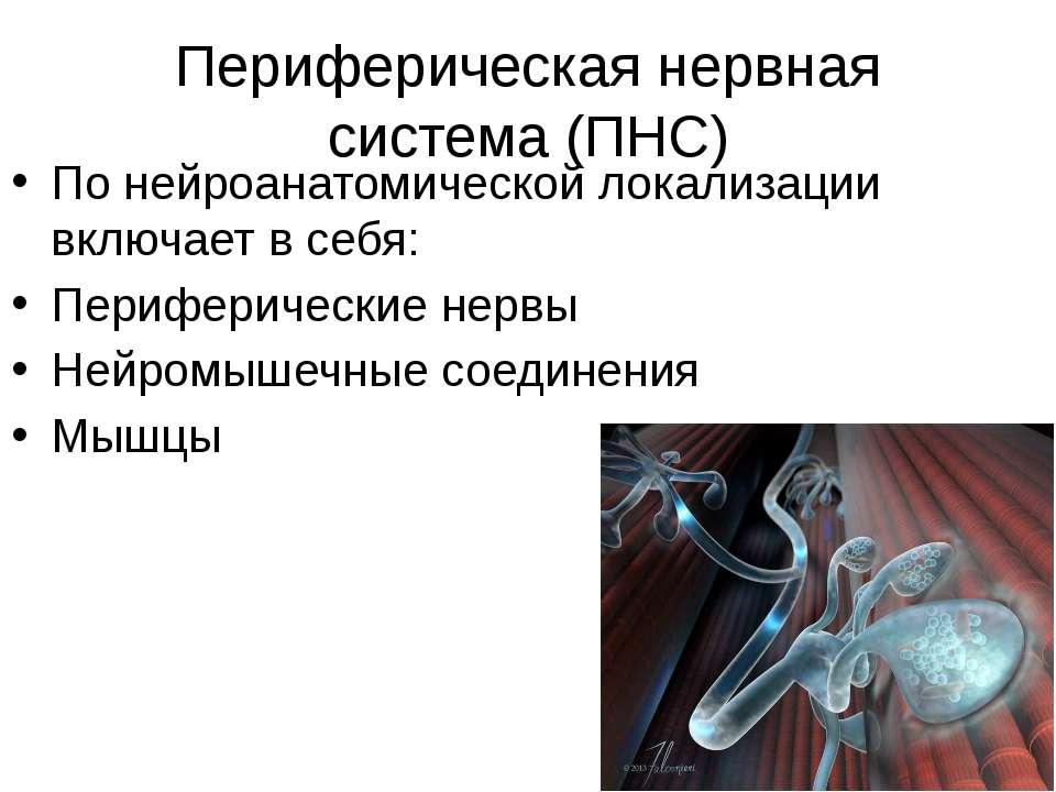 Периферическая нервная система (ПНС) По нейроанатомической локализации включа...