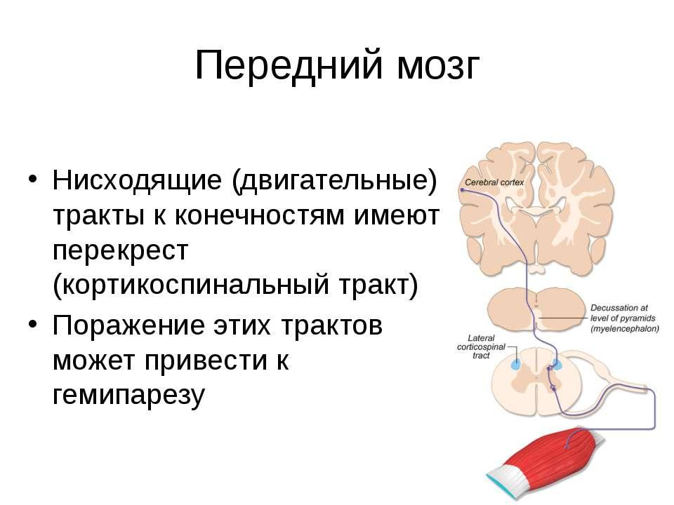 Передний мозг Нисходящие (двигательные) тракты к конечностям имеют перекрест ...