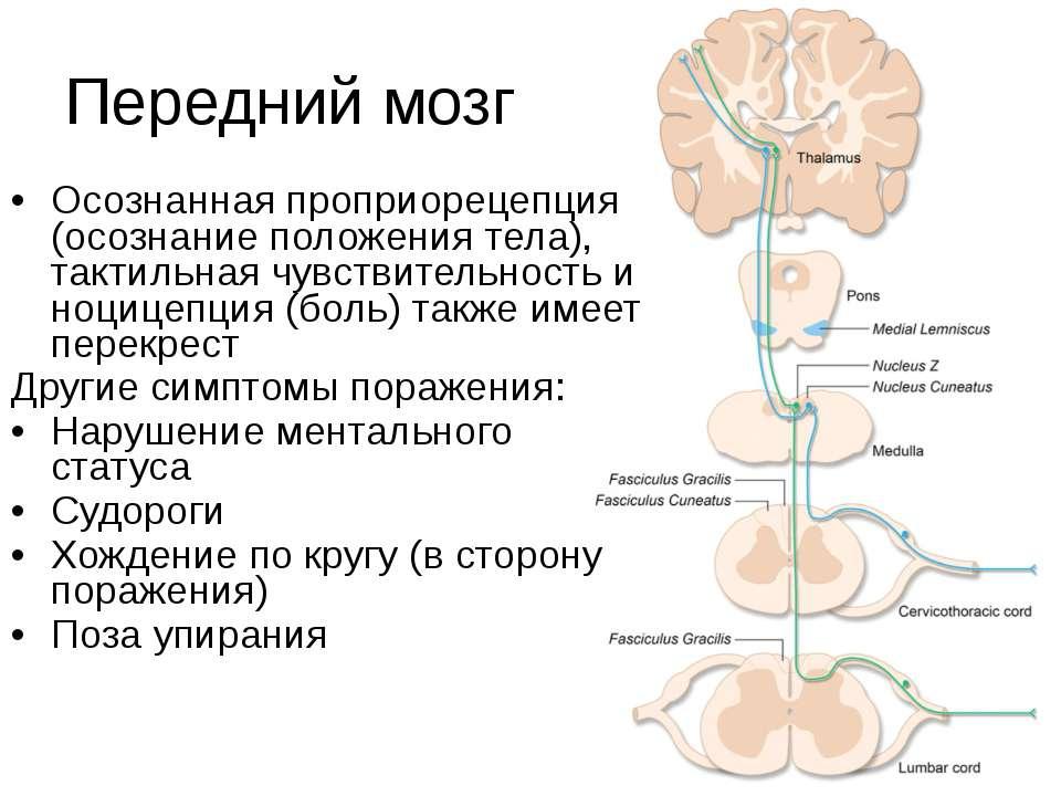 Передний мозг Осознанная проприорецепция (осознание положения тела), тактильн...