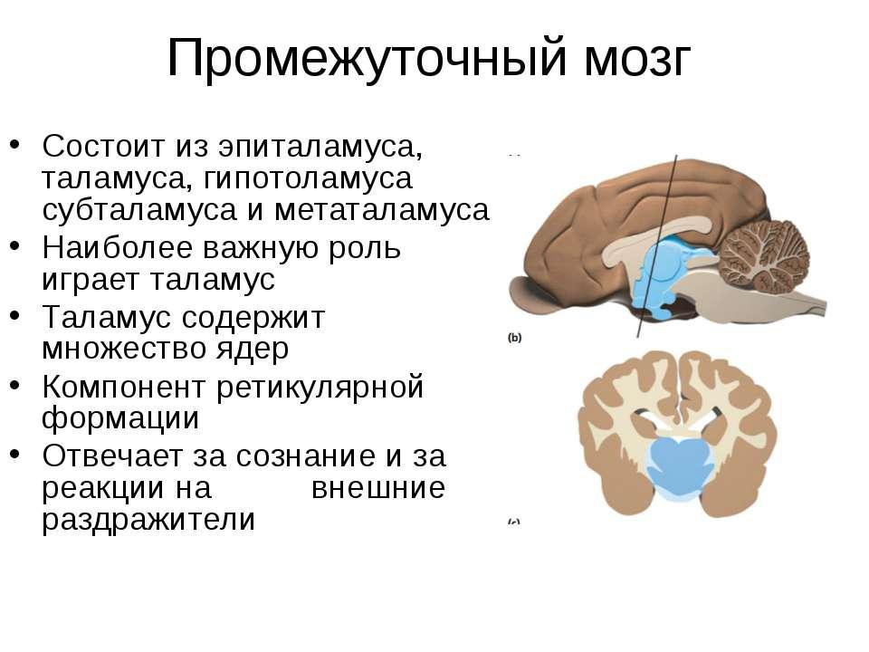 Промежуточный мозг Состоит из эпиталамуса, таламуса, гипотоламуса субталамуса...
