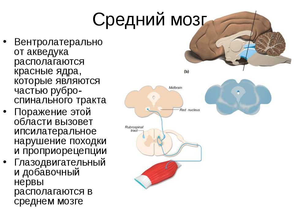 Средний мозг Вентролатерально от акведука располагаются красные ядра, которые...