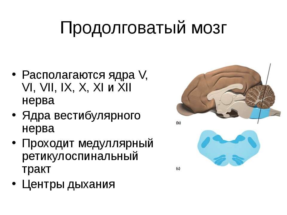 Продолговатый мозг Располагаются ядра V, VI, VII, IX, X, XI и XII нерва Ядра ...