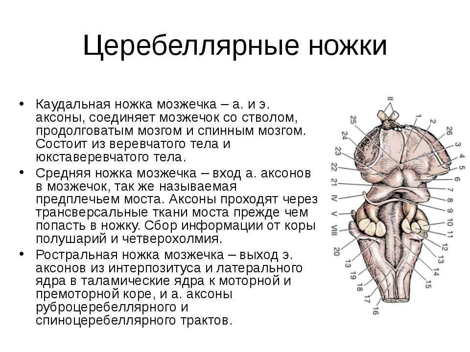 Церебеллярные ножки Каудальная ножка мозжечка – а. и э. аксоны, соединяет моз...