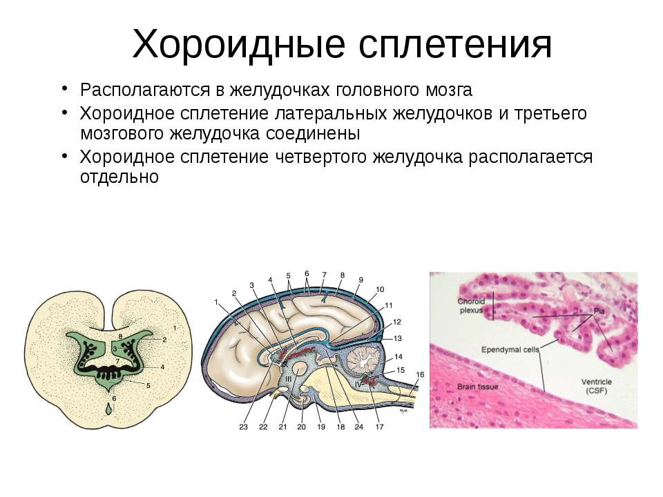 Хороидные сплетения Располагаются в желудочках головного мозга Хороидное спле...