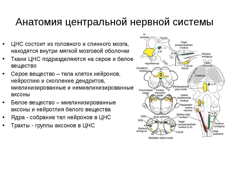 Анатомия центральной нервной системы ЦНС состоит из головного и спинного мозг...