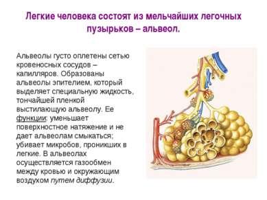 Легкие человека состоят из мельчайших легочных пузырьков – альвеол.