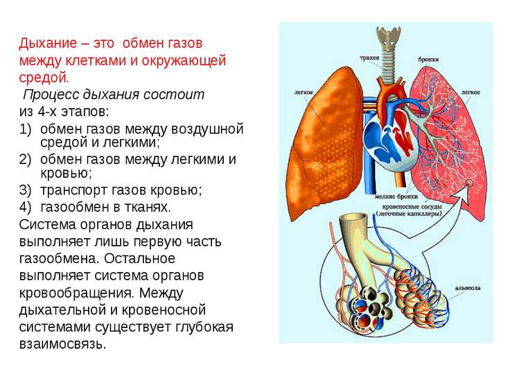 Дыхание – это обмен газов Дыхание – это обмен газов между клетками и окружающ...