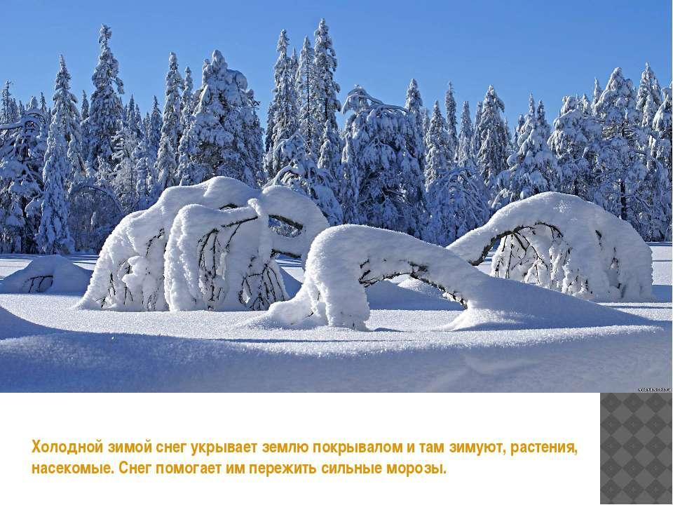 Холодной зимой снег укрывает землю покрывалом и там зимуют, растения, насеком...
