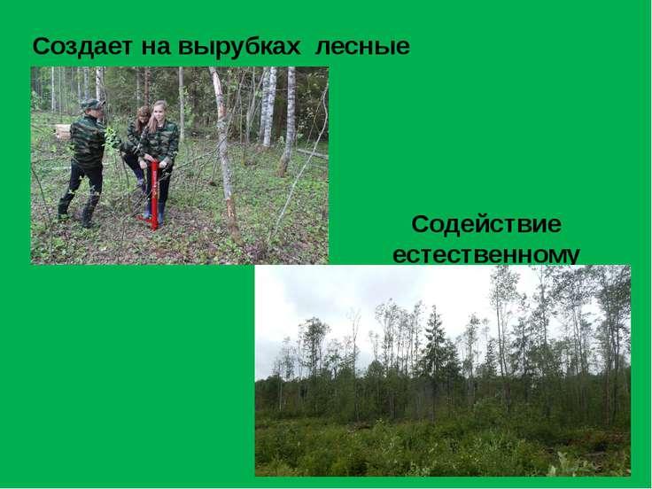 Создает на вырубках лесные культуры Содействие естественному возобновлению