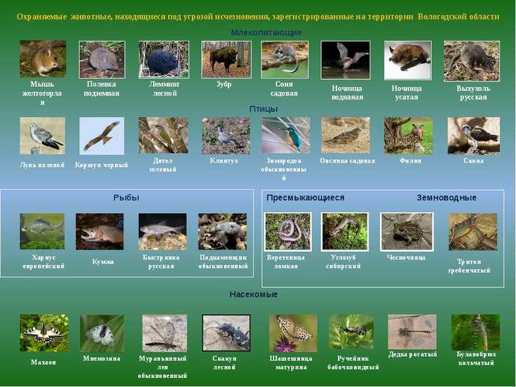 Пресмыкающиеся Земноводные Веретеница ломкая Охраняемые животные, находящиеся...