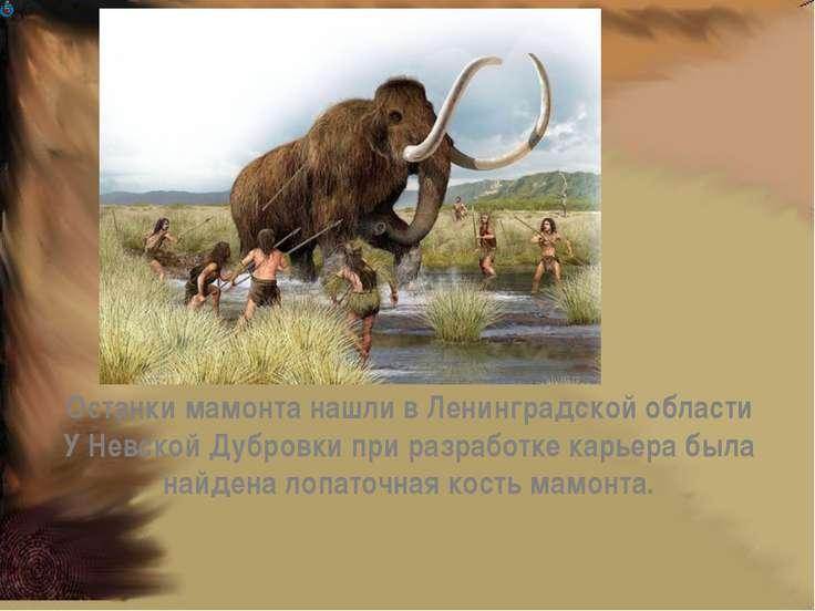 Останки мамонта нашли в Ленинградской области У Невской Дубровки при разработ...