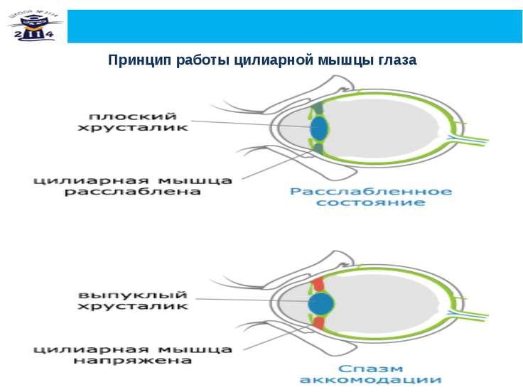 Актуальность работы Принцип работы цилиарной мышцы глаза