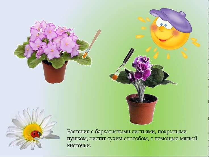 Растения с бархатистыми листьями, покрытыми пушком, чистят сухим способом, с ...