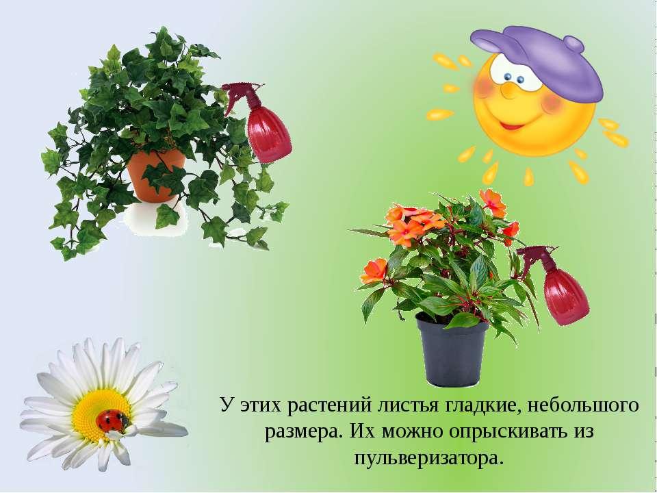 У этих растений листья гладкие, небольшого размера. Их можно опрыскивать из п...
