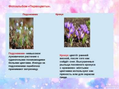 Фотоальбом «Первоцветы». Подснежник- невысокое луковичное растение с одиночны...