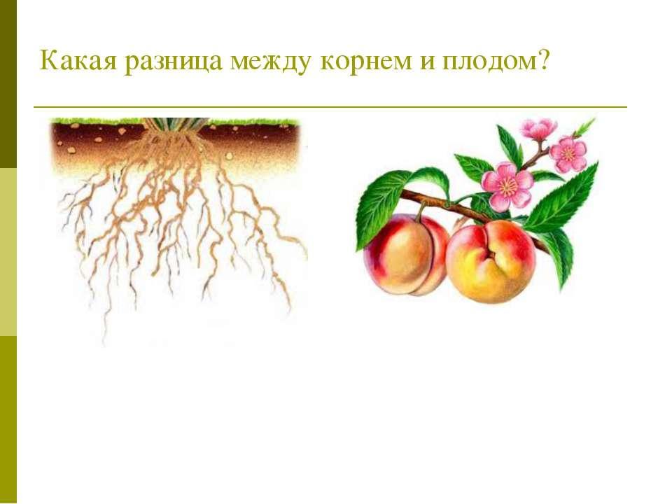 Какая разница между корнем и плодом?