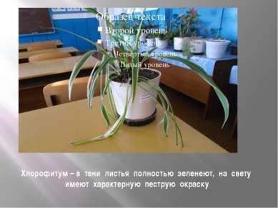 Хлорофитум – в тени листья полностью зеленеют, на свету имеют характерную пес...