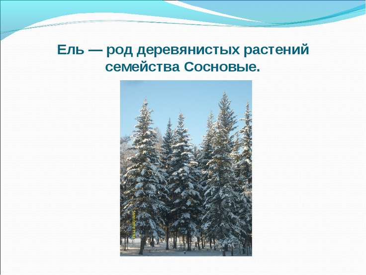 Ель — род деревянистых растений семейства Сосновые.