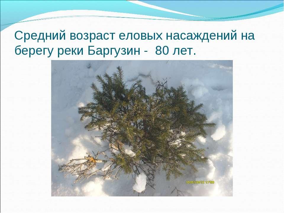 Средний возраст еловых насаждений на берегу реки Баргузин - 80 лет.