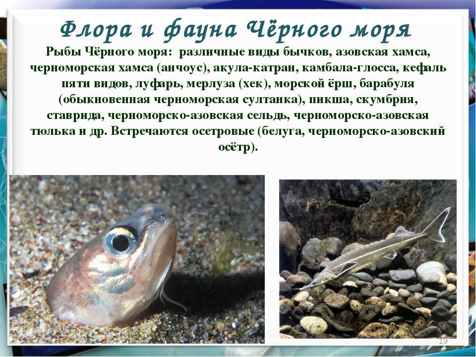 Флора и фауна Чёрного моря * Рыбы Чёрного моря: различные виды бычков, азовск...