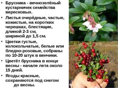 Брусника - вечнозелёный кустарничек семейства вересковых. Листья очерёдные, ч...