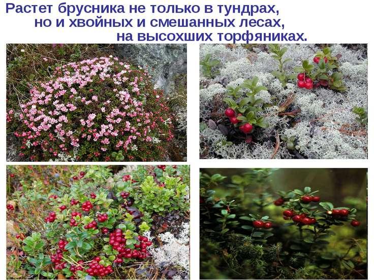 Растет брусника не только в тундрах, но и хвойных и смешанных лесах, на высох...