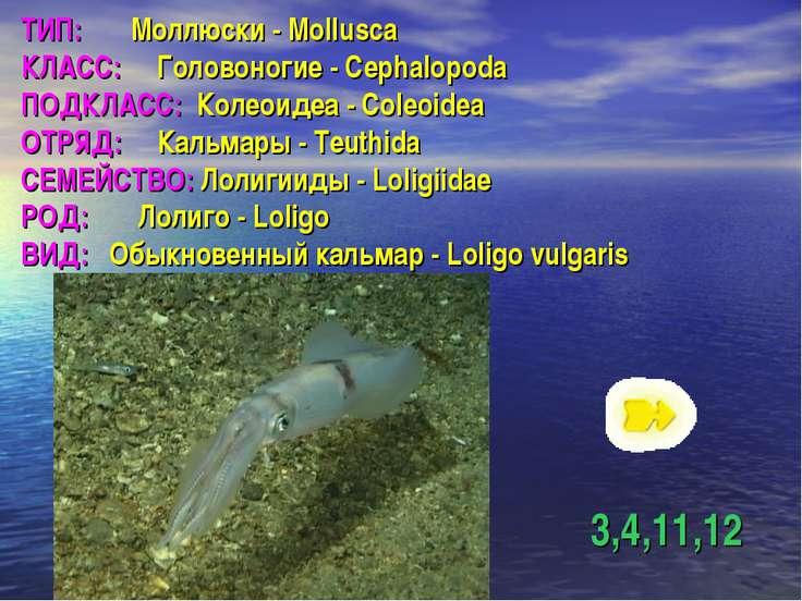 ТИП: Моллюски - Mollusca КЛАСС: Головоногие - Cephalopoda ПОДКЛАСС: Колеоидеа...