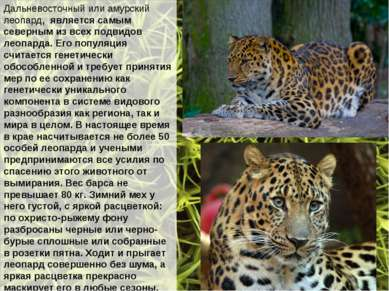 Дальневосточный или амурский леопард, является самым северным из всех подвидо...