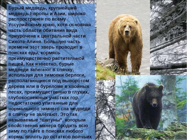 Бурый медведь, крупнейший медведь Европы и Азии, широко распространен по всем...