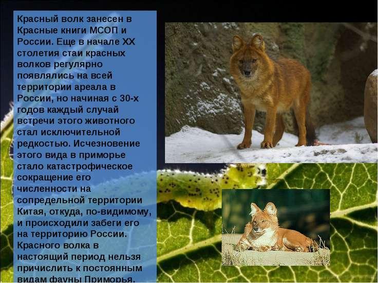 Красный волк занесен в Красные книги МСОП и России. Еще в начале ХХ столетия ...