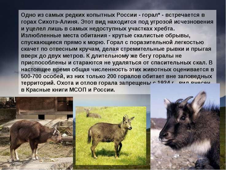 Одно из самых редких копытных России - горал* - встречается в горах Сихотэ-Ал...