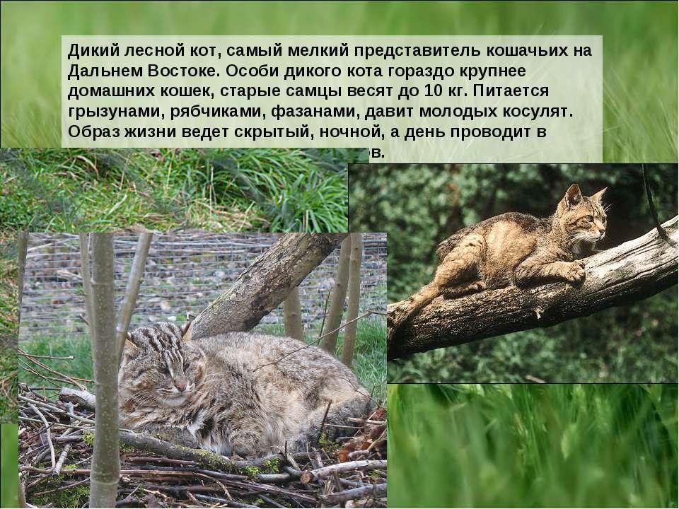 Дикий лесной кот, самый мелкий представитель кошачьих на Дальнем Востоке. Осо...