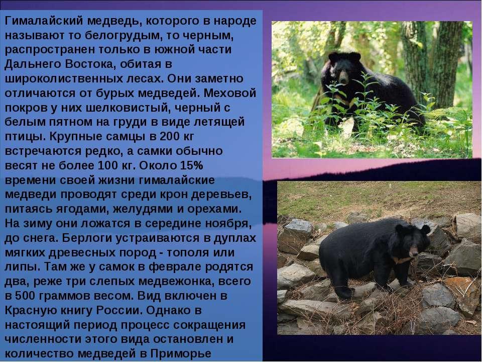 Гималайский медведь, которого в народе называют то белогрудым, то черным, рас...