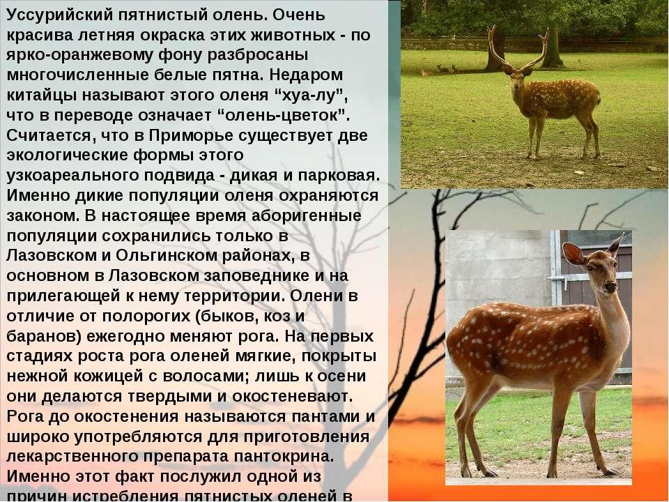 Уссурийский пятнистый олень. Очень красива летняя окраска этих животных - по ...