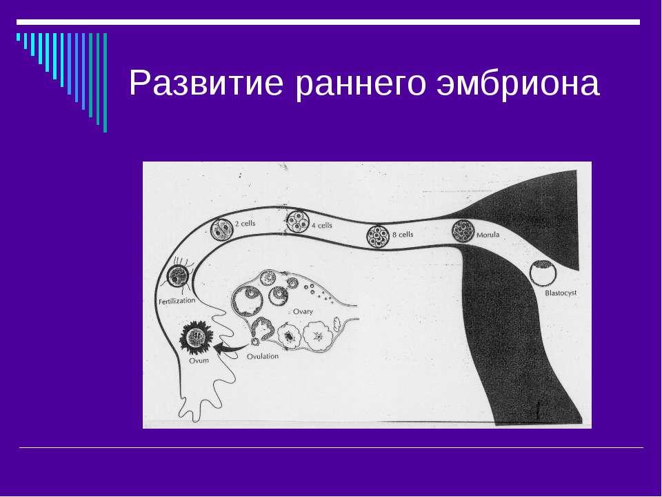 Развитие раннего эмбриона