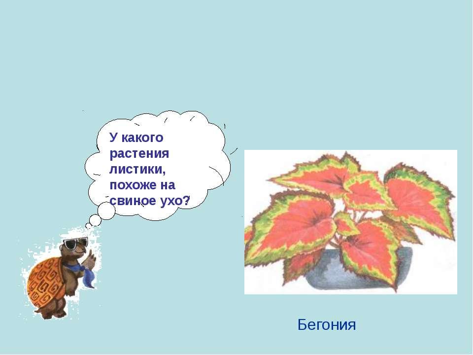 У какого растения листики, похоже на свиное ухо? Бегония