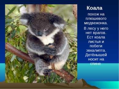 Коала похож на плюшевого медвежонка. В лесу у него нет врагов. Ест коала лист...
