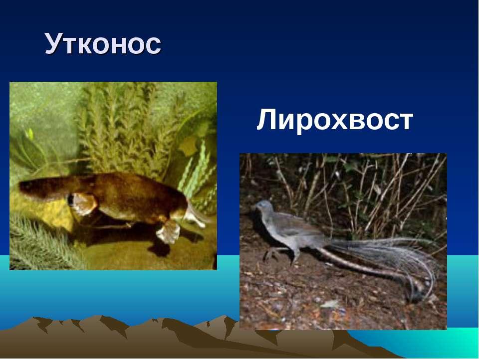 Утконос Лирохвост