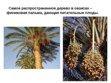 Самое распространенное дерево в оазисах – финиковая пальма, дающая питательны...