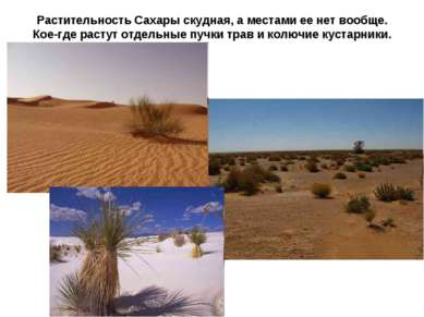 Растительность Сахары скудная, а местами ее нет вообще. Кое-где растут отдель...