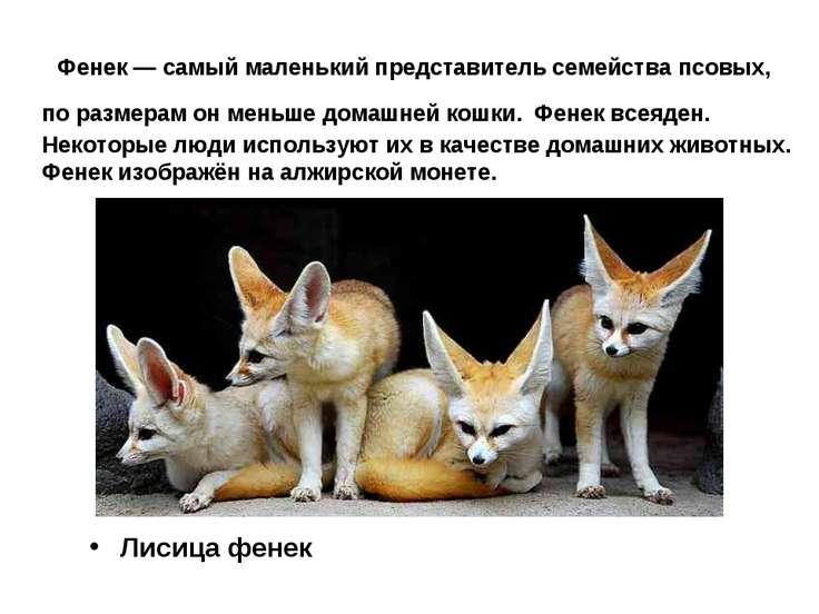 Фенек — самый маленький представитель семейства псовых, по размерам он меньше...