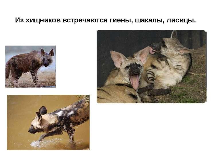 Из хищников встречаются гиены, шакалы, лисицы.